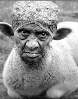 ugly sheep